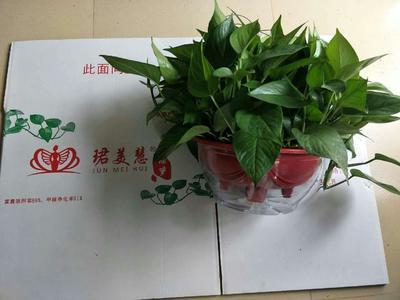 这是一张关于绿萝 的产品图片