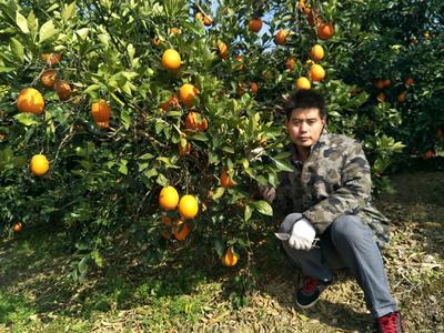 这是一张关于奉节脐橙 65 - 70mm 4-8两 自然成长不催熟的产品图片