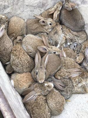 江西省上饶市万年县杂交野兔 5斤以上