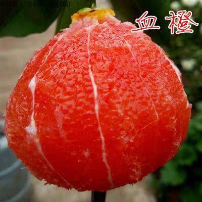 这是一张关于塔罗科血橙苗 挂果树 1~1.5米 的产品图片