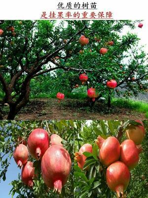 这是一张关于蒙阳红石榴苗 的产品图片
