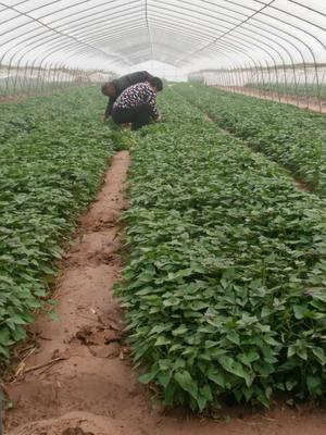 这是一张关于西瓜红红薯苗 25~35cm 的产品图片