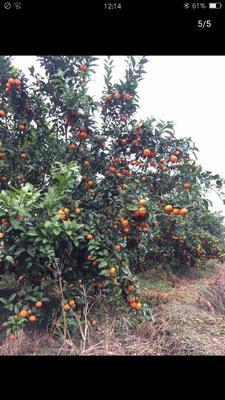 广东省清远市清城区柑树苗 2.0~2.5米