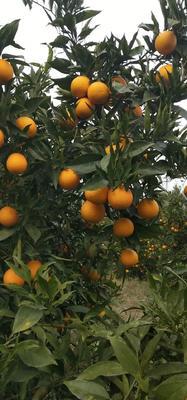 这是一张关于甜橙 60 - 65mm 4-8两 的产品图片