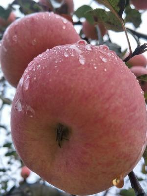 甘肃省庆阳市西峰区红富士苹果 60mm以上 统货 纸+膜袋