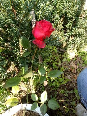 这是一张关于玫瑰苗 营养袋苗 的产品图片