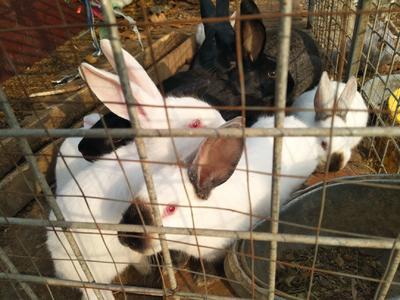 河北省石家庄市新华区中国白兔 5斤以上