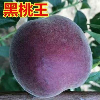 这是一张关于黑桃苗  1~1.5米 苗圃直销 量大优惠的产品图片