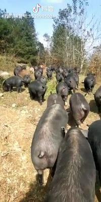 贵州省遵义市正安县山林黑猪 200-300斤