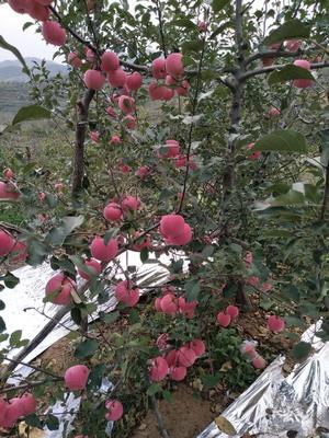 山东省烟台市栖霞市红富士苹果 80mm以上 片红 纸袋