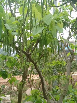 这是一张关于台湾长果桑 的产品图片