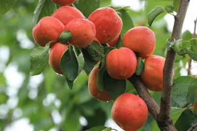 这是一张关于沙金红杏树苗 的产品图片