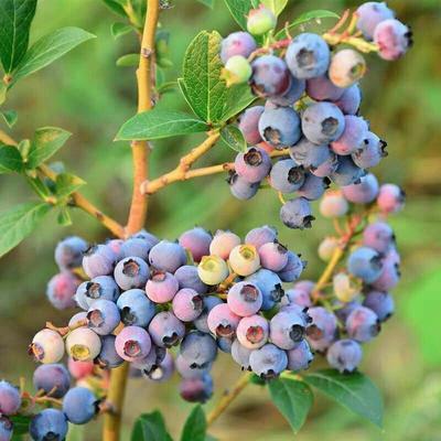 这是一张关于蓝丰蓝莓苗  3年大苗 当年挂果的产品图片