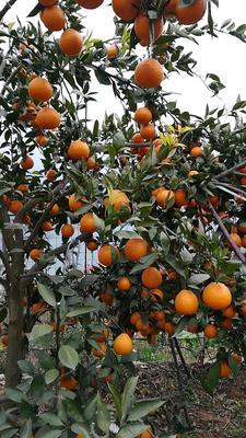 这是一张关于黄果柑 统货 2 - 3两 的产品图片