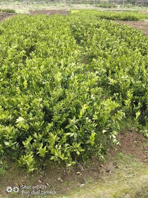 这是一张关于冰糖橙树苗 嫁接苗 0.5~1米 的产品图片