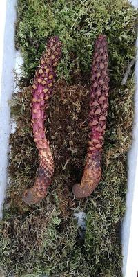 这是一张关于草苁蓉 干 的产品图片
