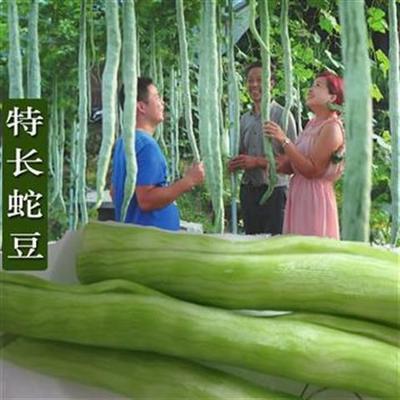 这是一张关于蛇瓜  特长蛇豆种子的产品图片
