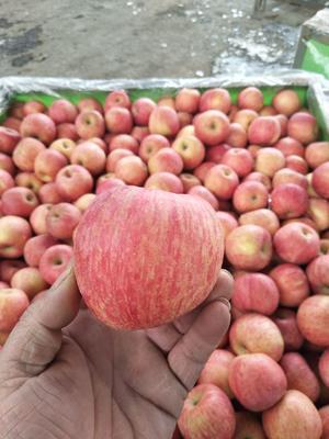 山东省日照市莒县红富士苹果 纸袋 条红 75mm以上