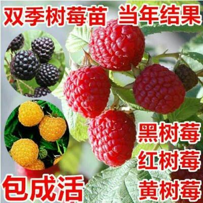 这是一张关于四季红树莓苗 当年结果的产品图片