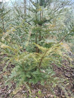 湖北省恩施土家族苗族自治州建始县南方红豆杉 2.0~2.5米
