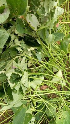 河南省南阳市邓州市西瓜红红薯苗 15~25cm