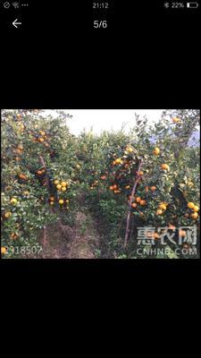 广东省韶关市仁化县皇帝柑苗 造型树 2米以上
