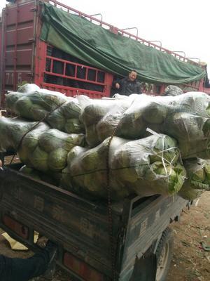 河南省平顶山市汝州市青杂三号白菜 3~6斤 净菜