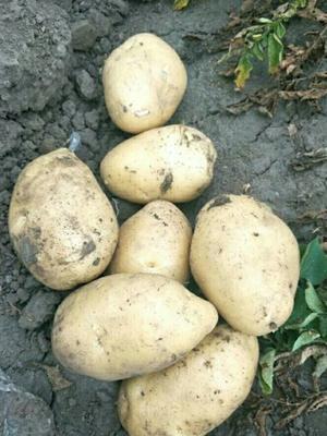 吉林省松原市扶余市尤金885土豆 3两以上