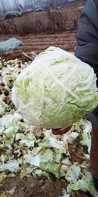 河南省开封市祥符区德高101大白菜 3~6斤 净菜