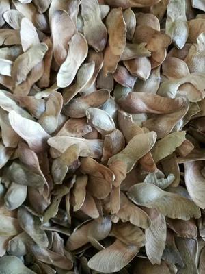 这是一张关于五角枫种子 的产品图片