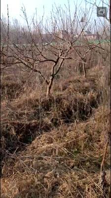 江苏省宿迁市沭阳县桃树种子  桃树