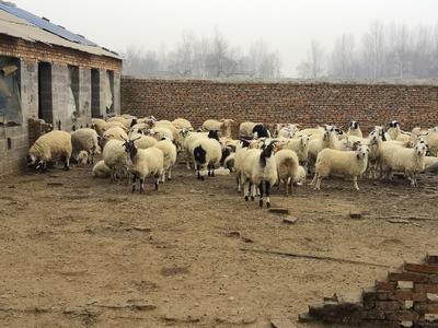 安徽省阜阳市界首市山羊 50-80斤
