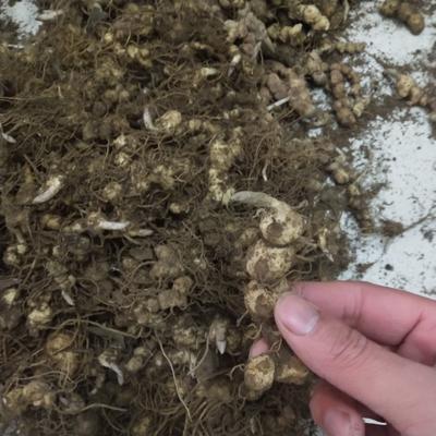 这是一张关于姜形黄精 块 的产品图片