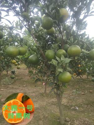 湖南省常德市澧县大雅柑苗 挂果树 1~1.5米