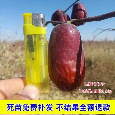 这是一张关于红枣苗 的产品图片