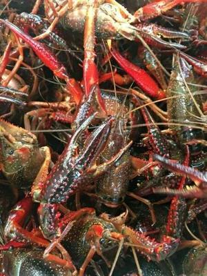 这是一张关于红壳小龙虾 4567钱 人工殖养 的产品图片