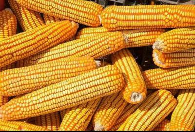 新疆维吾尔自治区哈密地区哈密市玉米干粮 净货 水份<14%