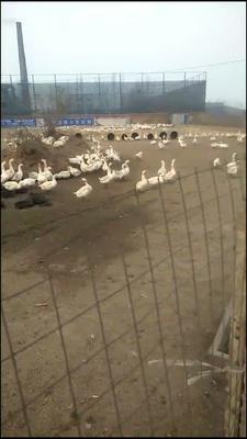 河北省保定市定州市大白鹅 8-10斤 统货 半圈养半散养
