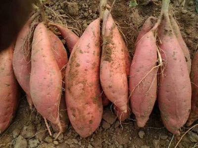 河北省邢台市威县烟薯25 3两~6两 红皮