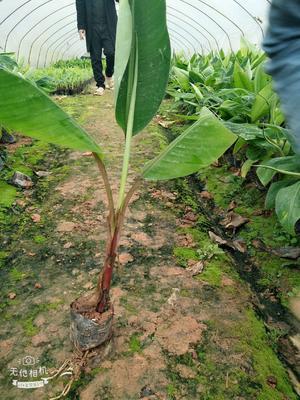 这是一张关于红蕉苗 的产品图片