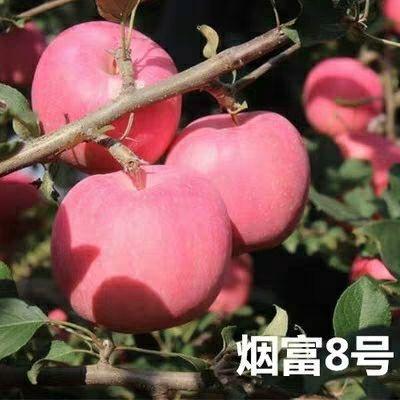 山东省临沂市平邑县烟富8号苹果树苗 1.5~2米
