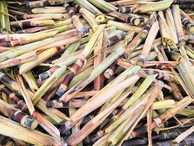 广西壮族自治区玉林市博白县甘蔗种子