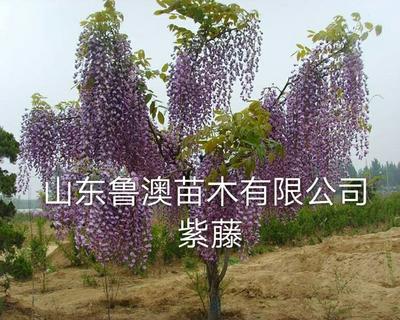 山东省临沂市平邑县多花紫藤 1~1.5米 1~2公分