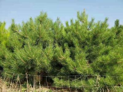这是一张关于华山油松 的产品图片