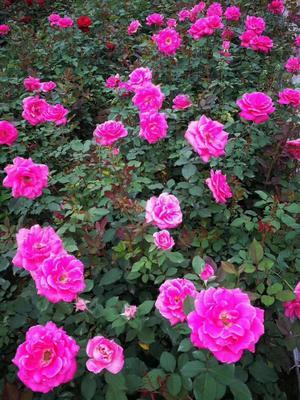 这是一张关于玫瑰花 的产品图片