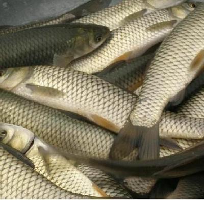 这是一张关于野生草鱼 人工养殖 1-2.5公斤 的产品图片