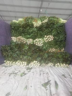 江苏省盐城市东台市红叶香莴苣 1.5~2.0斤 40-50cm