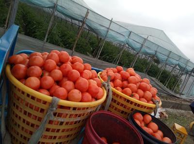 浙江省温州市瑞安市硬粉番茄 通货 弧二以上 大红