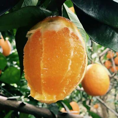 这是一张关于梨橙 75 - 80mm 4-8两 的产品图片