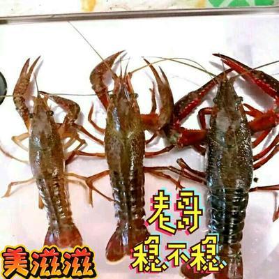河北省廊坊市香河县红壳小龙虾 4-6钱 湖虾